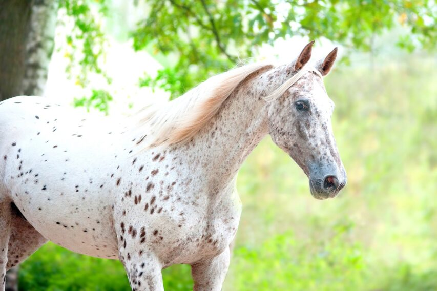 Portrait of knabstrupper breed horse - white with brown spots on coat
